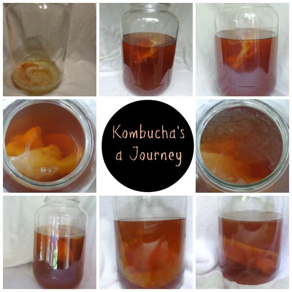 Making your own #kombucha canbe a great #frugal journey but make sure it's covered properly