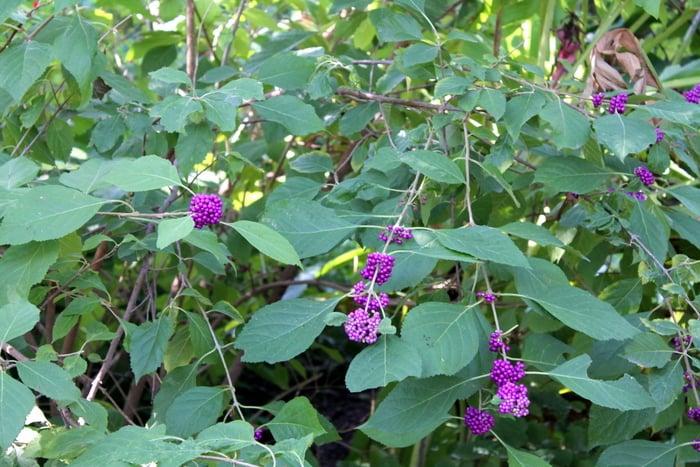 Fort Worth Botanic Gardens Purple Berries - www.realthekitchenandbeyond.com
