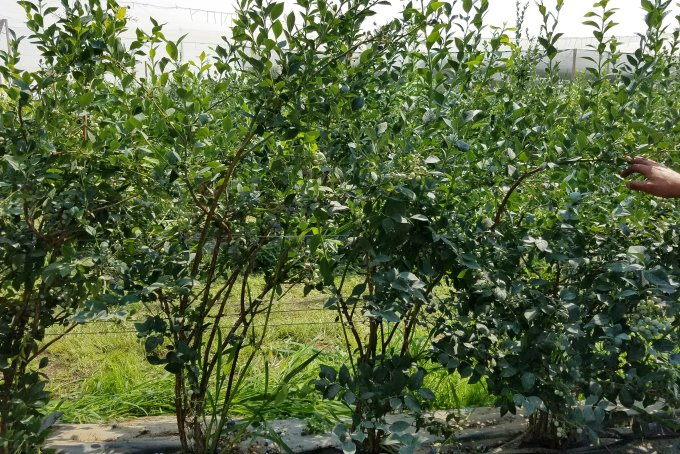 Rainier Fruit Blueberry Bushes