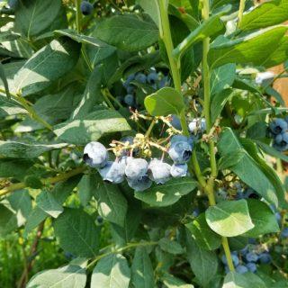Rainier Fruit Organic Blueberries
