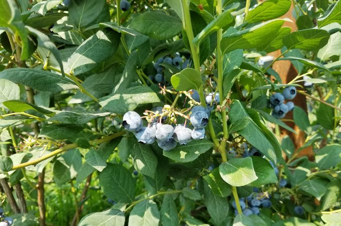 Road Trip Stop: The Journey of a Rainier Fruit Organic Blueberry