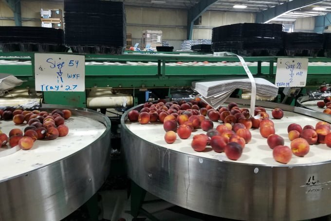 WA State Stone Fruit Growers Peach Sorting