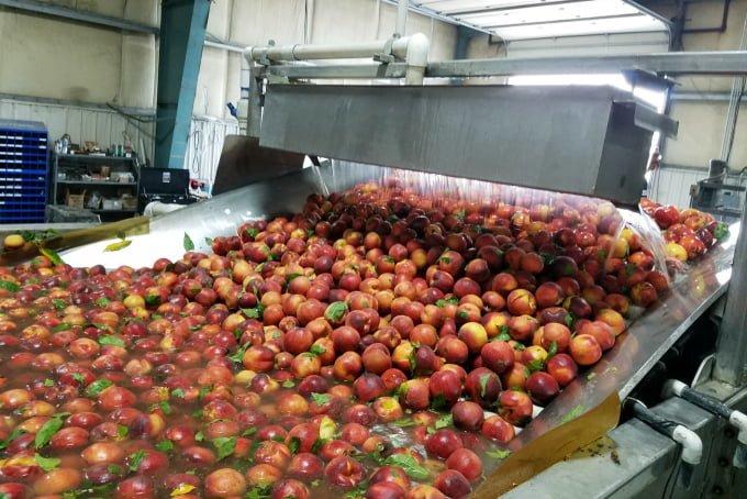WA Stone Fruit Growers Peaches Getting Bath
