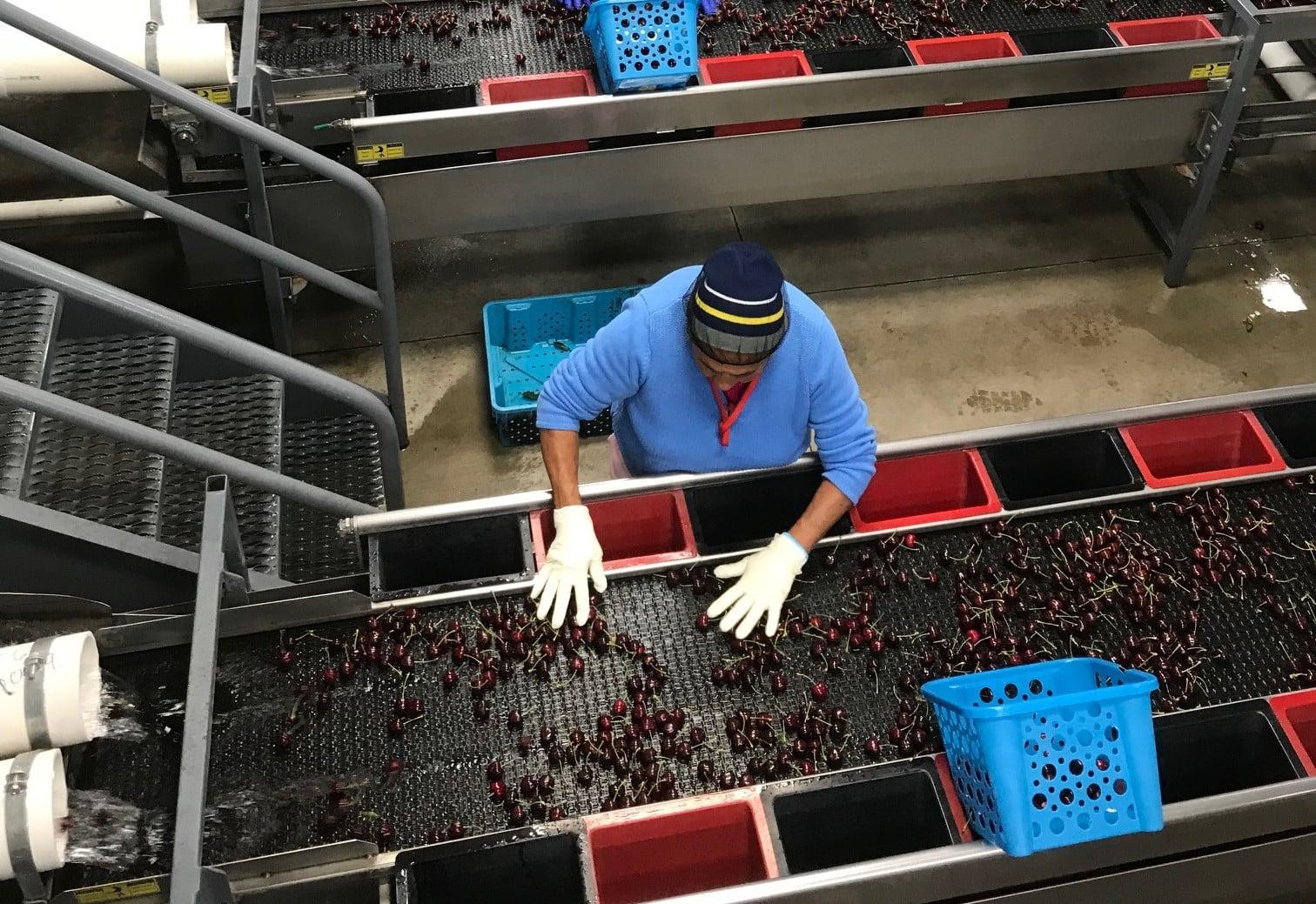 Cherry Sorting Line